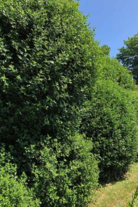 Cloud Pruned Holly Hedge