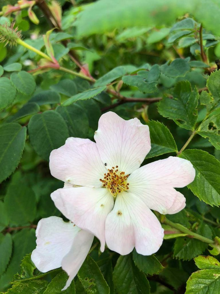 Hedge Dog Rose