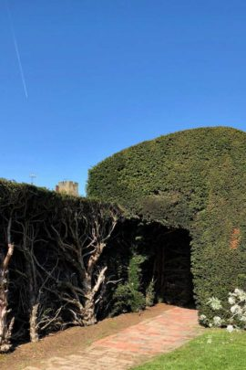 Renovating a Yew Hedge at Penshurst