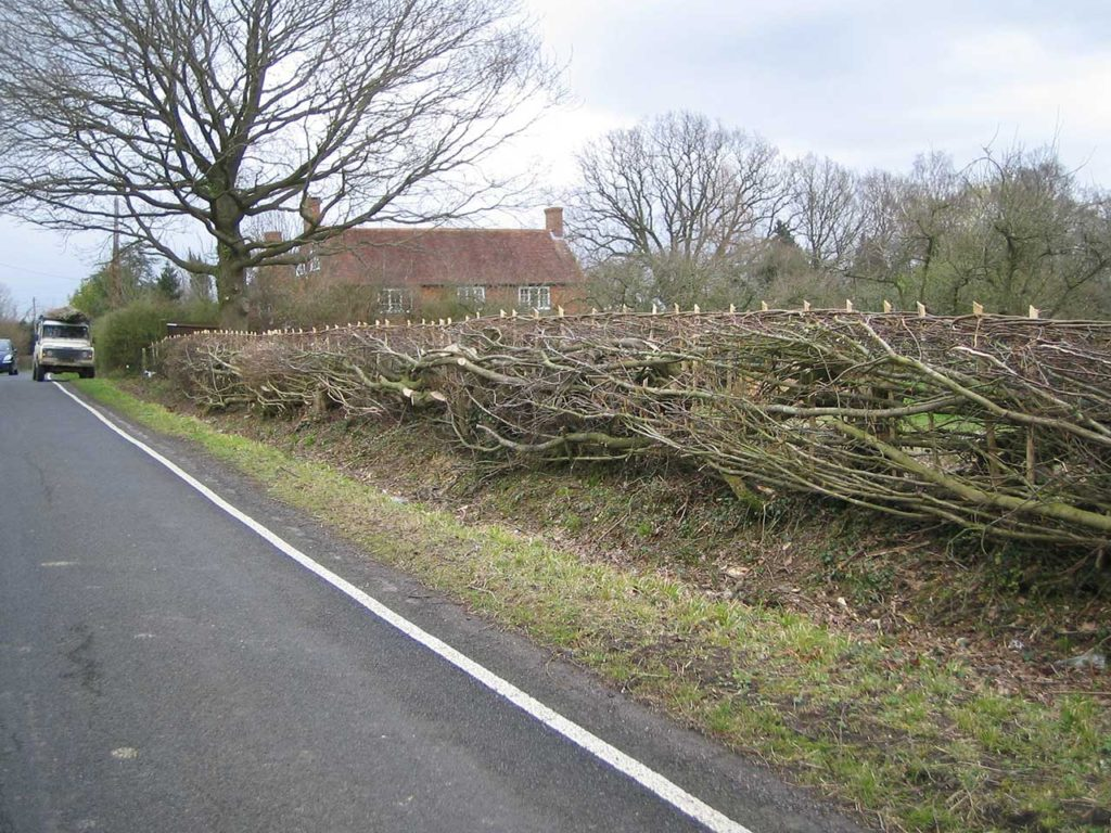 William Daniel National Champion Hedgelayer Hornbeam Hedge newly laid