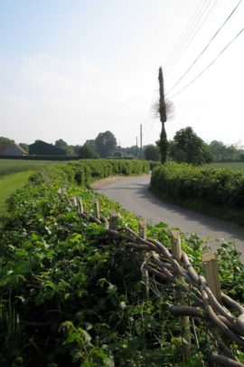 William Daniel National Champion Hedgelayer Elm Hedge after 1 year regrowth